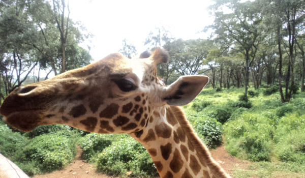 nairobi tour to giraffe center - cruzeirosafaris4.girrafecenter