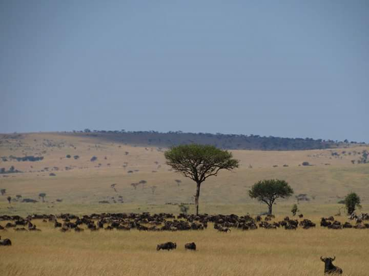 Migration, Wildebeest, Zebras, Game drives, Masai Mara - Migration 2017